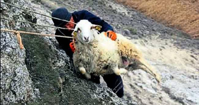 Mahsur kalan koyuna kurtarma