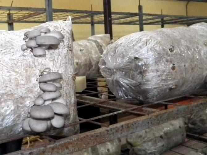 Didim'de İstiridye Mantarı Üretimine Başlandı