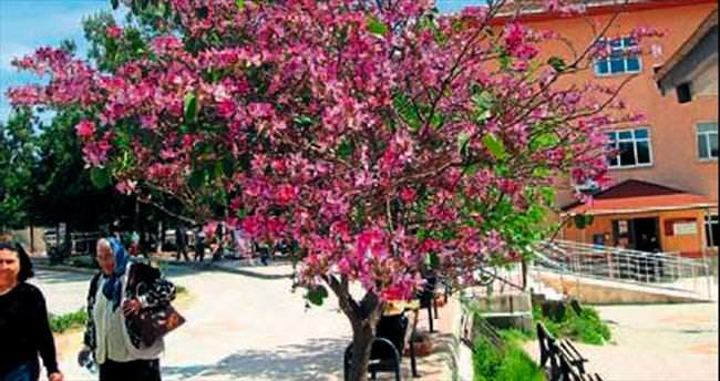Anamur'da yalancı bahar