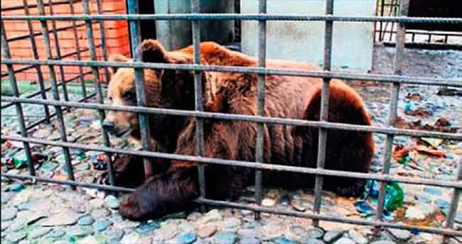 Alkolik ayılar kliniğe yatacak