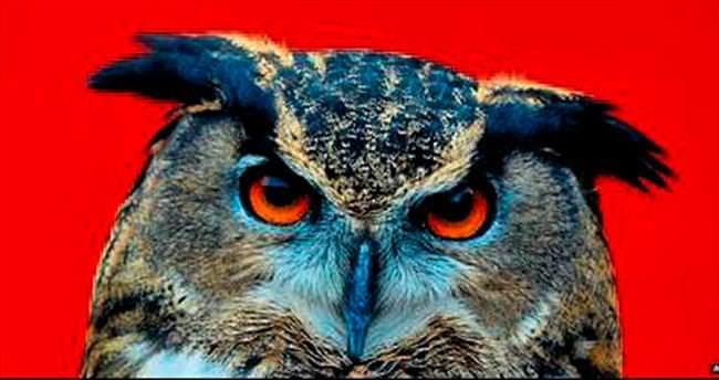 Puhu kuşu, koca şehri alarma geçirdi