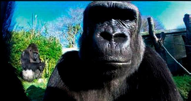 Selfie modasına goril de uydu