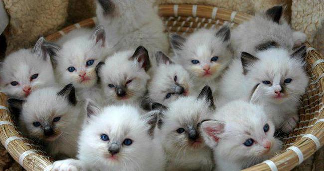 Japonya'da ilginç kedi istilası