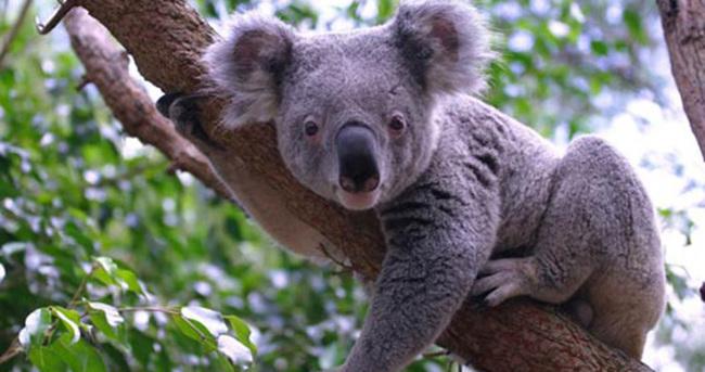 Avustralya'da 686 koala öldürüldü