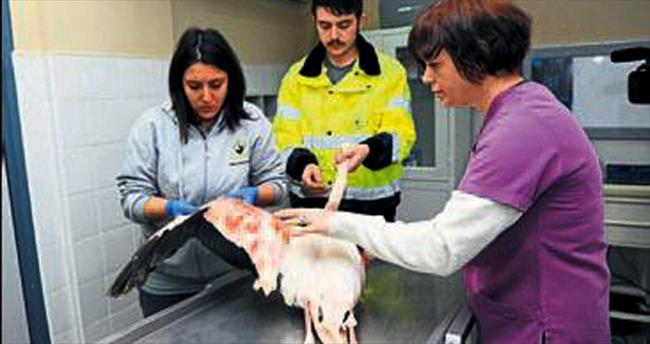 Yaralı flamingo tedavi edildi