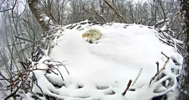 Yumurtalarını korumak için kar altında kaldı