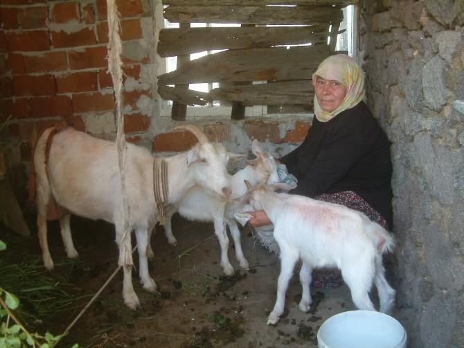 Koyun Ve Keçiler Bebek Dostu
