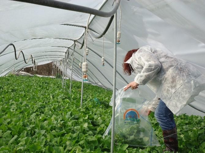 Sebze Ve Meyve Ürünlerinde 2015 Yılı Hasat Öncesi Pestisit Denetimi