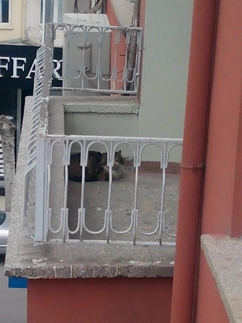 Balkonda Mahsur Kalan Kedi İçin İtfaiye Seferber Oldu