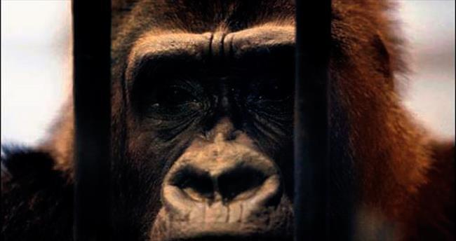 Gorile özgürlük için 50 bin imza