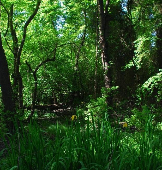 Köyceğiz'de 'Sığla Ağacı Dikim Şenliği' Yapılacak