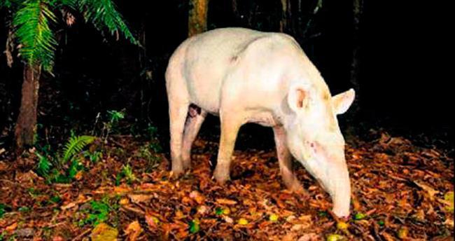 Brezilya'da albino tapir fotoğraflandı