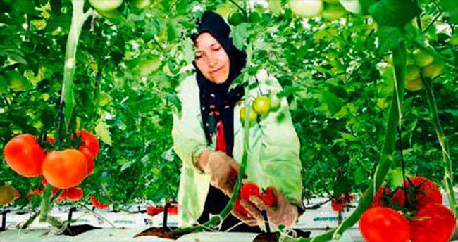 Eksi 35 derecede domates üretiyor