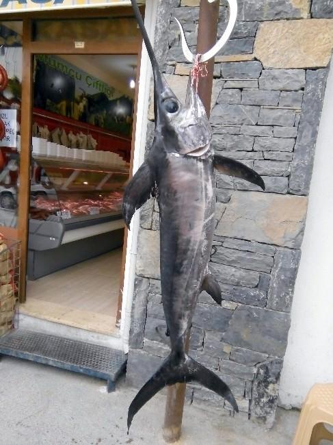 Datçalı Balıkçının Oltasına Kılıç Balığı Takıldı