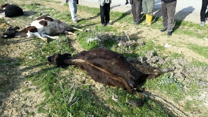 Yozgat'ta Elektrik Akımına Kapılan 5 İnek Telef Oldu