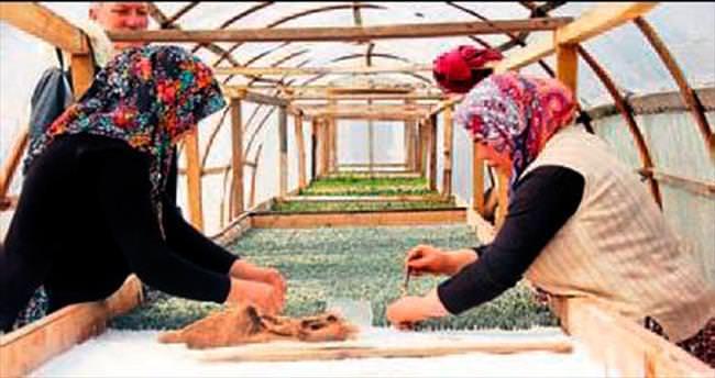 Lavanta üretim alanları artıyor