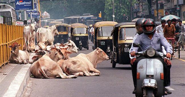 Hindistan'da inek kesenlere 5 yıl hapis cezası