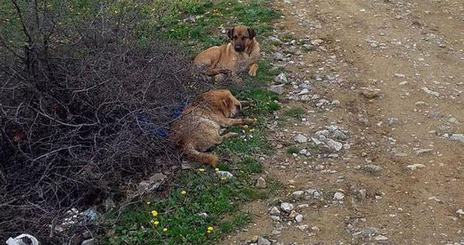 Köpekleri anestezi ile bayıltıp terk ettiler