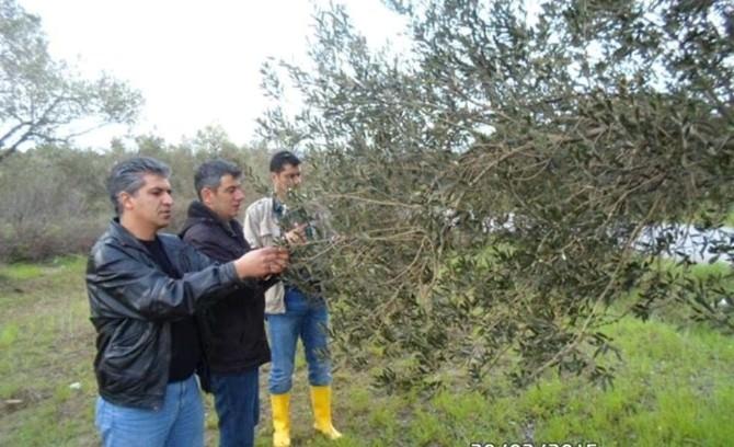 Burhaniye'de Zeytin Ağaçlarında Hastalık Takibi