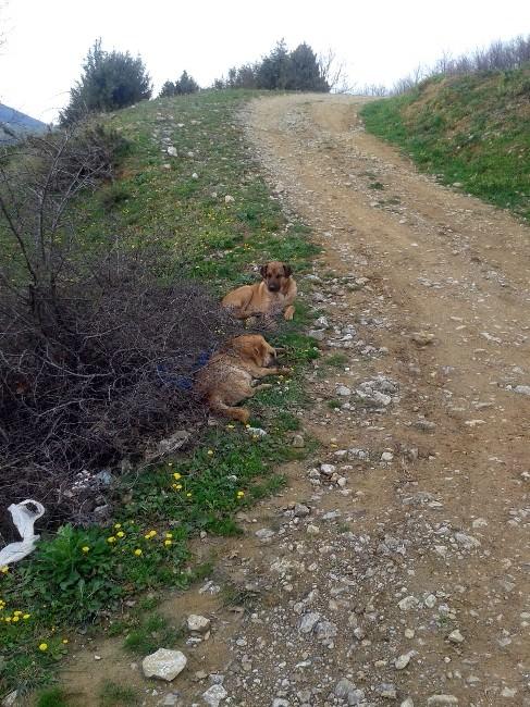 (Özel Haber) Onlarca Köpeği Anestezi İle Bayıltıp Terk Ettiler