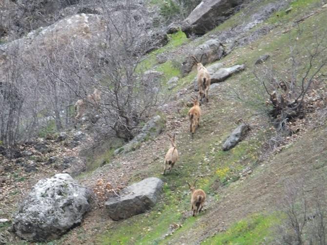 (Özel Haber) Yaban Dağ Keçileri Sürü Halinde Görüntülendi