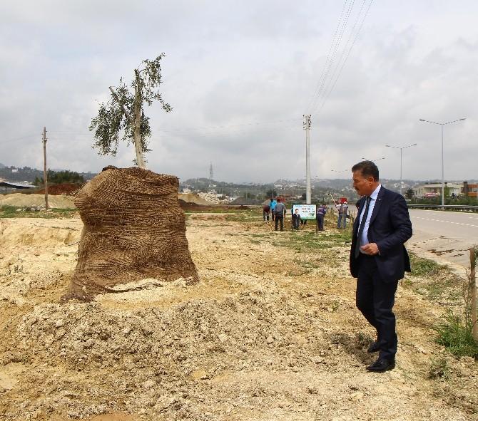Hızardan Alınan 8 Asırlık Zeytin Ağacı, Toroslar'da Yeniden Can Bulacak