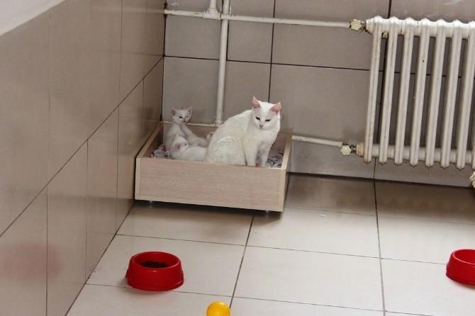 (Özel Haber) Van Kedileri Erken Doğum Yaptı
