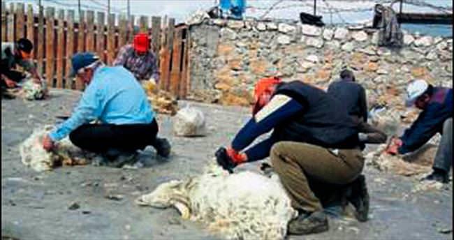 Tiftik keçisi kırkma sezonu başladı