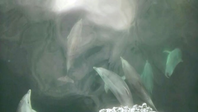 Yunusların Dansı Amatör Kamerada