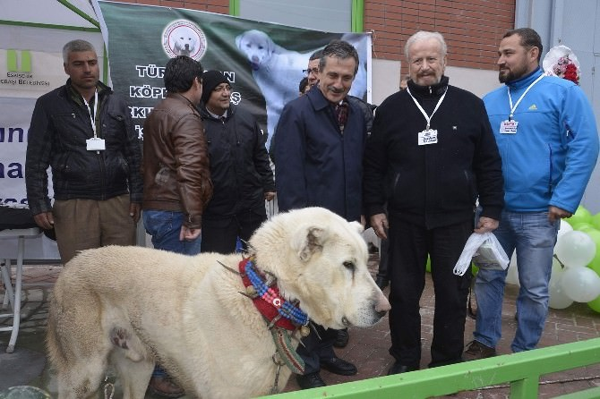 Tarım Fuarı'nın Gözdesi 'Akbaş' Köpekleri