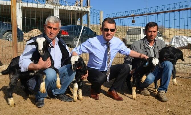 MAKÜ Rektörü Prof. Dr. Saatcı, Üniversitede Yetiştirilen Honamlı Keçi Sürüsünü İnceledi