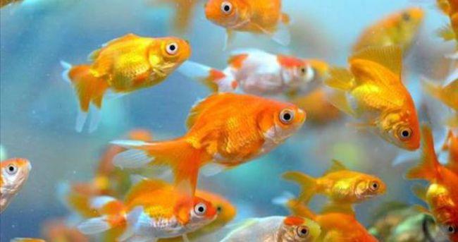 Göle elektrik verilerek balıklar itlaf edilecek!