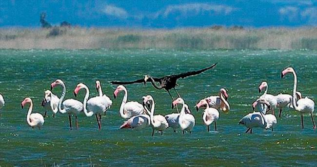 Sürünün içinde siyah bir flamingo