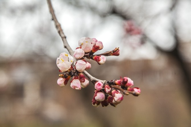 (Özel Haber) Nisan Ayında Yağan Kar Meyve Ağaçlarına Zarar Verdi