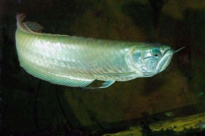 Arowana Balığı Aqua Vega'da