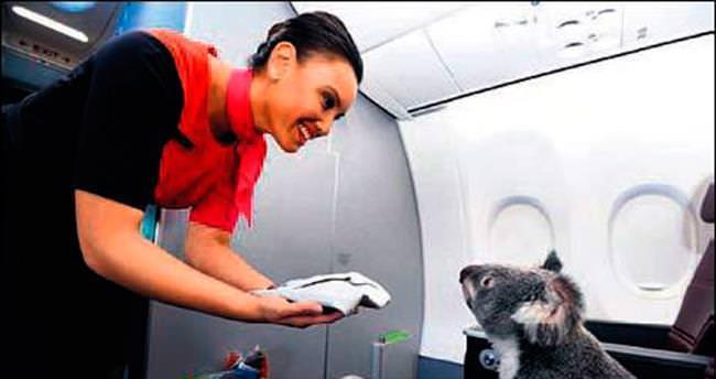 Kültür elçisi koalalar birinci sınıfta uçtu!