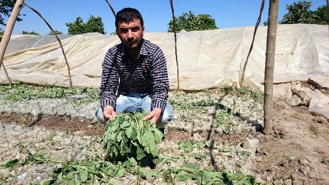 Çiftçinin Biber Ve Patlıcan Fidelerini Telef Ettiler