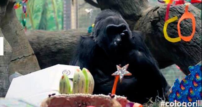 58'e bastı, en yaşlı Avrupalı goril oldu