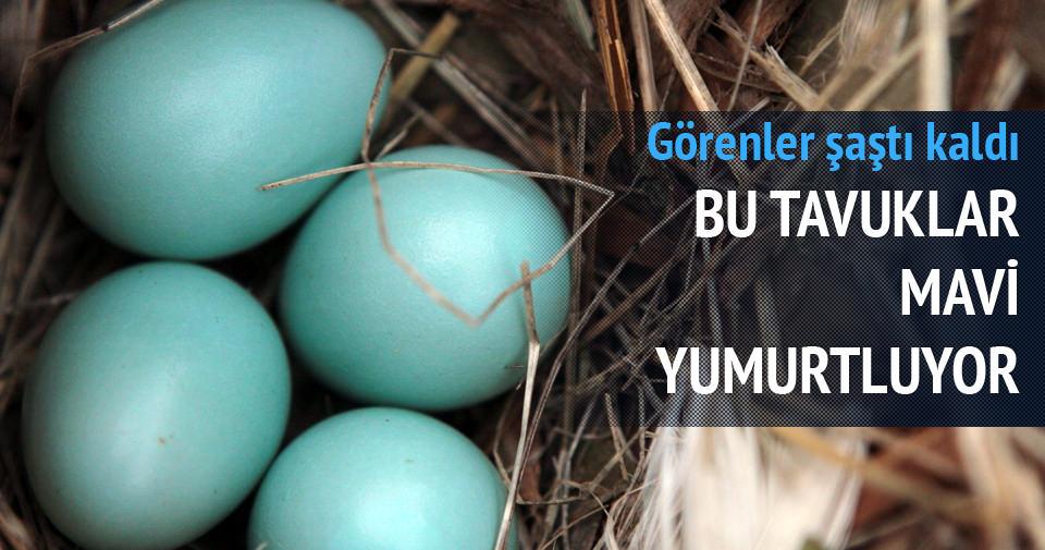 Bu tavuklar mavi yumurta yumurtluyor