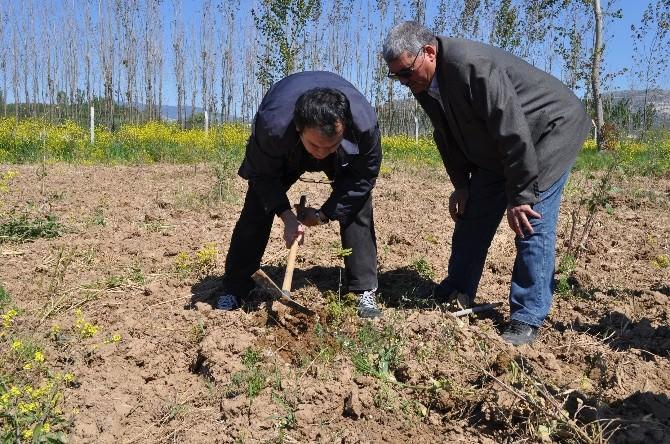 Yatağan'da İlk Trüf Mantarı Hasadı 2018'de Yapılacak