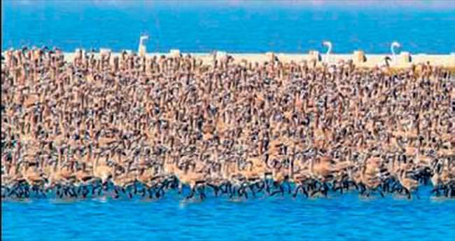 Cennet'e pelikan yuvası kuruluyor