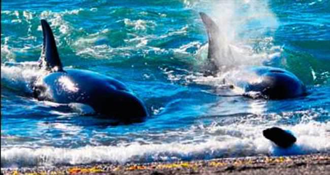 İki katil balina aynı avın peşine düşerse