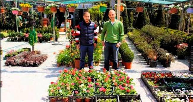 Başkentlilerin tercihi Sardunya çiçekleri