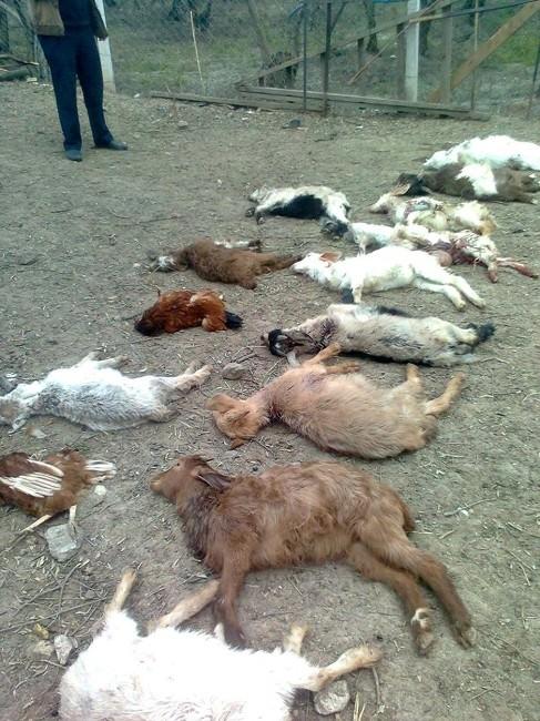 Köpekler Çitlikteki Hayvanları Parçaladı