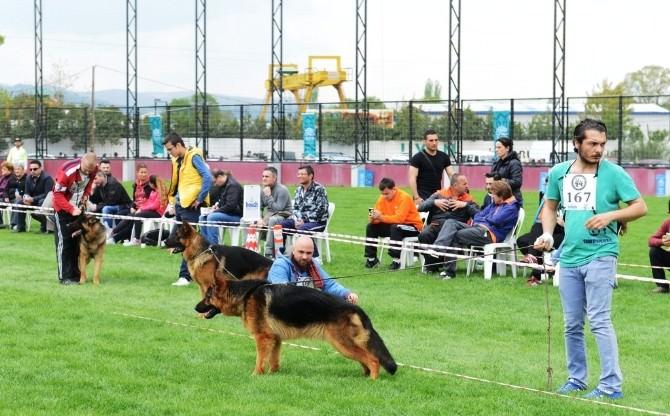 Alman Çoban Köpekleri Nilüfer'de Yarıştı