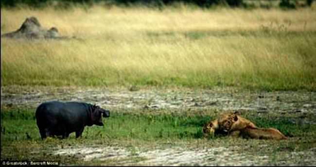Hipopotamın sesi aslanları kaçırdı
