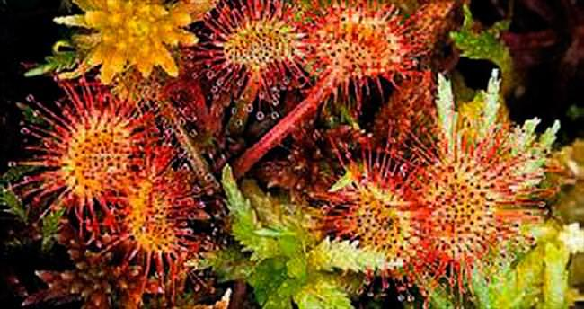 Böcek yiyen bitki yaralara merhem