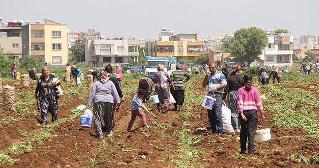 Patatesin fiyatı arttı çiftçi tarlaya koştu