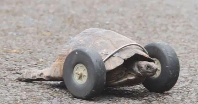90 yaşındaki kaplumbağaya protez bacak takıldı