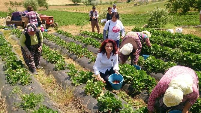 CHP'li Tur Yıldız Biçer, Çilek Tarlasında